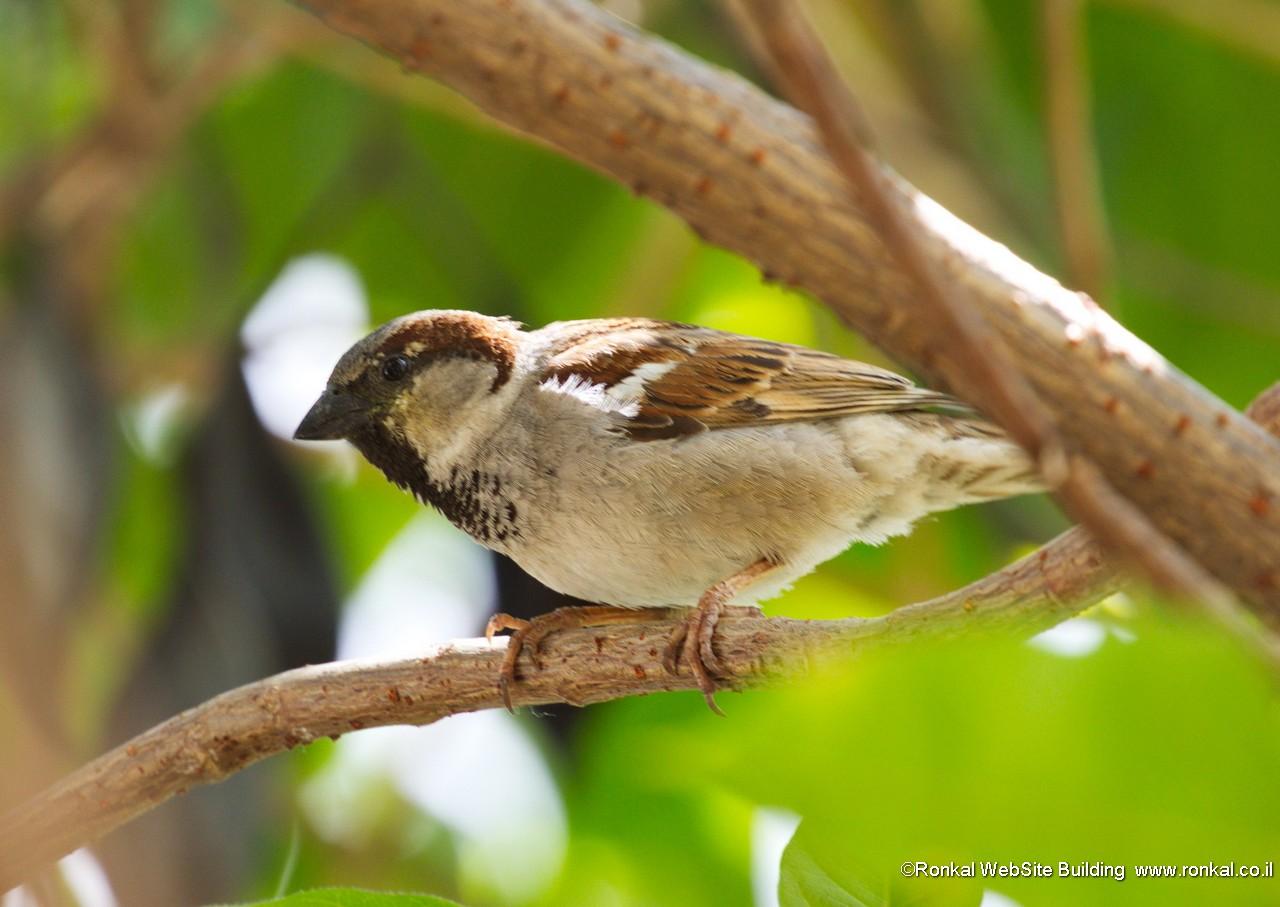 ציפור דרור בחלון